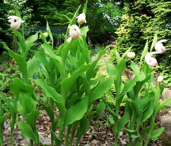 Cypripedium ´Ulla Silkens´